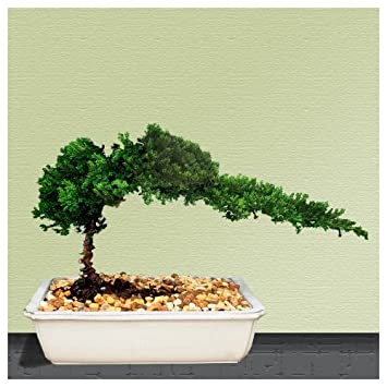 Amazon.com : 9GreenBox - Bonsai Juniper Tree : Live Indoor Bonsai ...