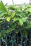 SOPHISTICATE Organic Seeds: 1 Gallon (4in CitraPot) : Nippon Orangequat (Satsuma & Meiwa Kumquat Hybrid) Tree (Cant Ship AZ CA LA TX)