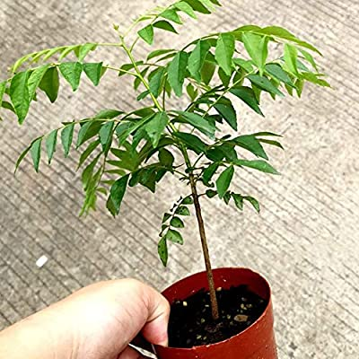 wsloftyGYd 100Pcs Curry Leaf Tree Seeds Petted Culinary Herb Plant Outdoor Garden Decor - Curry Seeds: Home & Kitchen