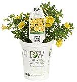 Cheap Superbells Lemon Slice (Calibrachoa) Live Plant, Yellow and White Flowers, 4.25 in. Grande, 4-pack