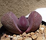 Purple Split Rock-Pleiospilos Nelii Royal Flush