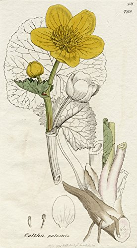 Posterazzi Caltha Palustris-Marsh Marigold 1798 James Sowerby (1757-1822) British Botanical Artist Poster Print by by by by by Published C.1790-1810, (11 x 20)