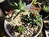 10 SEEDS Crassula Mix - Easy to Grow