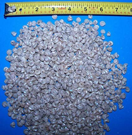 1 Pckg of Tiny Pearl Turbo Craft Display Tiny Shells 8oz Weddings # SS1154-8oz