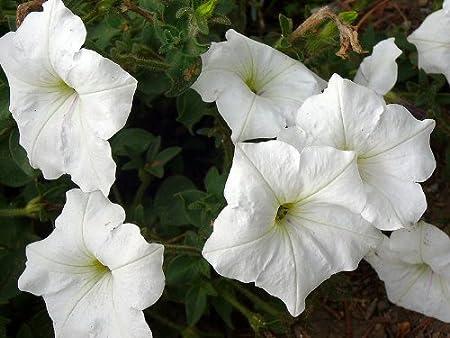 100 WHITE PETUNIA Grandiflora Flower Seeds Gift /& Comb S//H