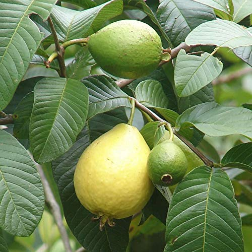 Pink Guavas Tropical Fruit Trees 3-4 Feet Height in 3 Gallon Pot #BS1 by iniloplant (Image #3)