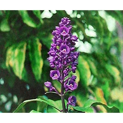 Hawaiian Tropical Blue Ginger Plant Root ~ Grow Hawaii : Garden & Outdoor