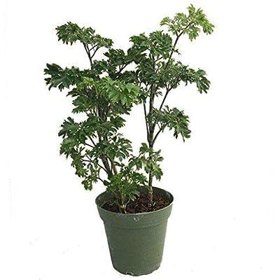 "Japanese Ming Pre Bonsai Tree Plant Polyscias Indoor 6""Pot Houseplant Best Gift: Garden & Outdoor"