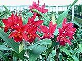 Blc Carolyn Reid 'Glowing Embers' pot sz vars seedling S596SE