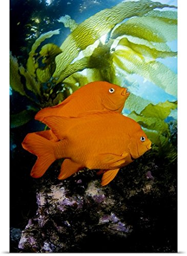 Dave Fleetham Poster Print entitled California, Garibaldi (Hypsypops Rubicundus) In Kelp Forest (Macrocystis Pyrifera) - Sunburst Leafy Greens