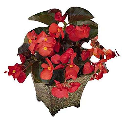 Begonia - Big Bronze Leaf Red F1 - Flower Seeds