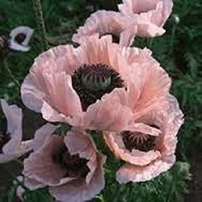 35+ Papaver Orientale Princess Victoria Louise Poppy Flower Seeds /Perennial