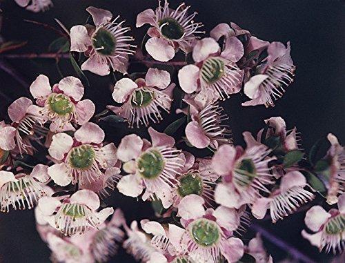 - Leptospermum Sericeum - Silver Tea Tree - Rare Tropical Plant Tree Seeds (10)