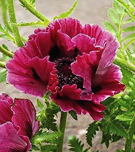 200 Rose Red Oriental Poppy Seeds - (Oriental Poppies Seed)