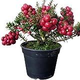 Prickly Heath Bush Seeds (Gaultheria mucronata) 25 Seeds