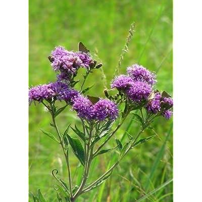 New York Ironweed (Vernonia noveboracensis), Seed Packet, True Native Seed: Toys & Games