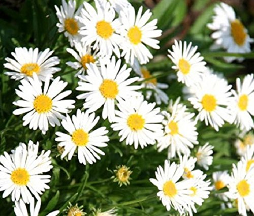 50-100 Seeds of Perennial White Aster. Display of white daisy flowers on compact ()