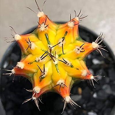 Cactus Plants Gymnocalycium mihanovichii VAR. 3.2 cm.(Rootstock) : Garden & Outdoor