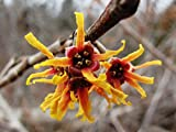 (1 gallon) WITCH-HAZEL, Attractive leaves during summer,fragrant showy yellow to red flowers, NATIVE PLANT,