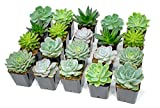 Succulent Plants | 20 Echeveria Succulents | Rooted in Planter Pots with Soil | Real Live Indoor Plants | Gifts or Room Decor by Plants for Pets