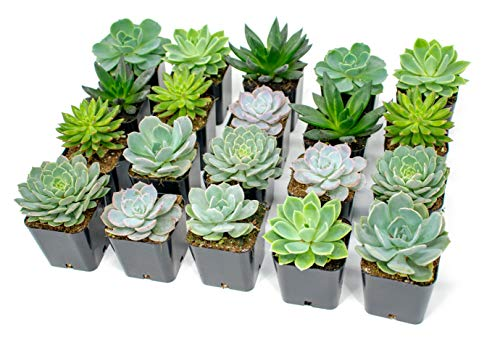 (Succulent Plants | 20 Echeveria Succulents | Rooted in Planter Pots with Soil |Real Live Indoor Plants | Gifts or Room Decor by Plants for Pets)