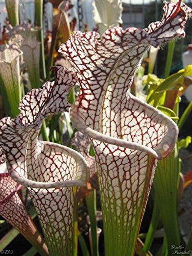 10 CARNIVOROUS WHITE TOP PITCHER PLANT Sarracenia Leucophylla Flower Seeds ()