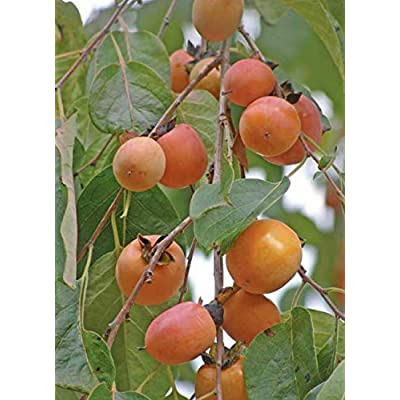 Cheap Fresh Diospyros Virginiana American Persimmon Tree Seeds Get 5 Seeds Easy Grow #GRG01YN : Garden & Outdoor