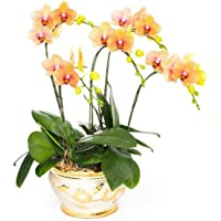 Cymbidium Bonsai | Butterfly Orchid Bonsai for Home Garden(100pcs)