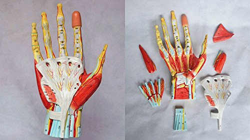 Medical Anatomical Hand Skeleton Model with Ligaments, Muscles, Nerves and Arteries, 7-Part, Life Size Wellden