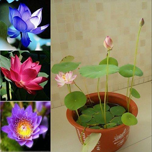 5 Seeds Dwarf Lotus Flower Mixed Colors Aquatic (Lotus Pond Plants)