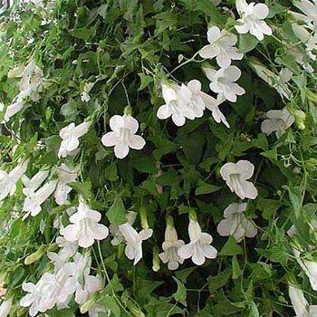 Amazon outsidepride asarina white flowering vine seed 100 outsidepride asarina white flowering vine seed 100 seeds mightylinksfo