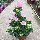 AGROBITS 100 Pcs Flower Abutilon Pictum Bonsai Garden Bonsai Flower Bonsai Easy Grow Chinese Bell Flower Bonsai Campanula: 4