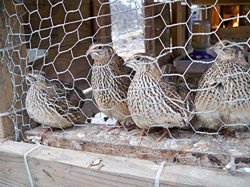 12 Fertile Coturnix Quail Eggs for sale  Delivered anywhere in USA