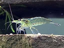 10 Live Amano Shrimp (Caridina multidentata, aka Yamato shrimp) - 1/2 to 1 1/2 Inch Young Adults! Better than Ghost Shrimp! BEST Algae Eating Shrimp in the World! by Aquatic Arts