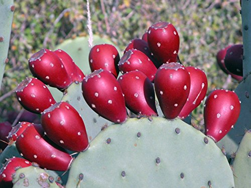 Organic - 2 Winter Resistant Prickly Pear Cactus Pads - Hardy & Easy Grow