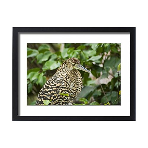Framed 24x18 Print of Juvenile Tiger Heron, Tortuguero National Park, Costa Rica (1139719) (National Park Tortuguero)