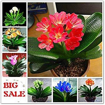 Vistaric 50 Pcs Pas Cher Clivia Graines Belles Plantes Pour