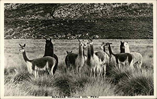 Alpacas Nativas Del Peru Other Animals Original Vintage Postcard from CardCow Vintage Postcards