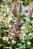 50 Pink STEEPLEBUSH Hardhack Meadow Sweet Spiraea Tomentosa Shrub Flower Seeds