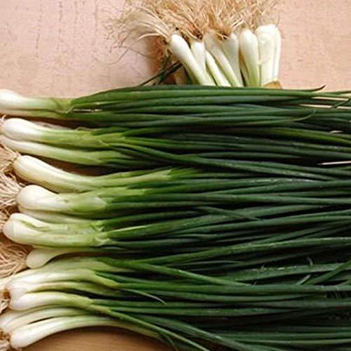 4000pcs Survival Heirloom Vegetable Shallot Seeds garden Organic Spices Plant
