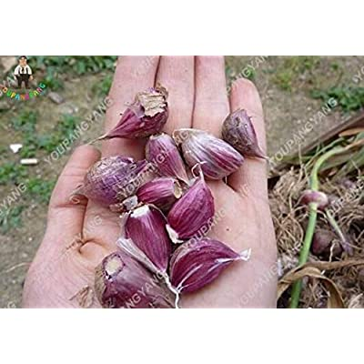 100pcs Rare Garlic Bonsai Organic Red&Black Garlic Plants Bonsai Onion Garlic Vegetable Plants Bonsai Kitchen Seasoning for Gard