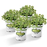 Bonnie Plants 4P5081 Oregano Live Herb Plants, Perennial in Zones 5 to 10, Major Ingredient In Italian Cuisine, 4-PACK