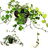 SS0144 Creeping Fig Plant 3'' Pot Houseplants Indoor Yard Live Plant Best Gift New