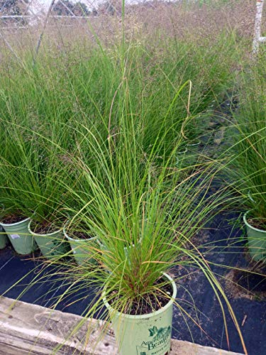 American Beauties Native Plants Sporobolis heterolepsis ((Prairie Dropseed) Grass, 1 - Size Container, Green ()