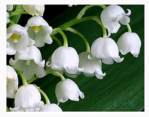 30 Large, Plump Lily of The Valley Bare Root Plant Pips Fresh from Holland - Blooms in May
