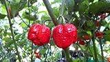 Moruga Scorpion Pepper Plants Combo #1