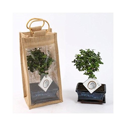 Bonsai Tree in a 12cm Pot in a Gift Bag Perfect Plants