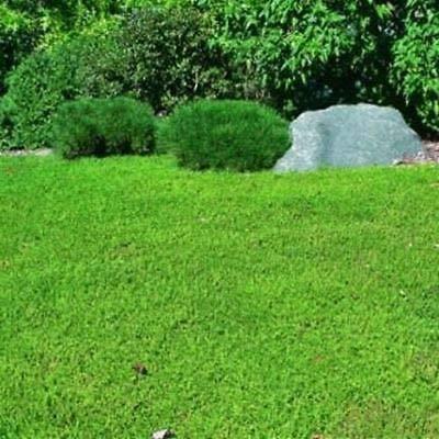 1000 Seeds, Green Herniaria Glabra Ground Cover Seeds : Garden & Outdoor