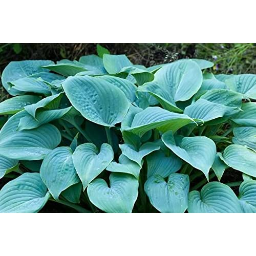 'Fragrant Blue' Hosta – Quart Pot – Healthy – Heavy – Perennial – Ea 1 by Growers Solution