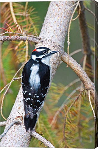 British Columbia, Downy Woodpecker Bird, Male (Back View) by Larry Ditto/Danita Delimont Canvas Art Wall Picture, Gallery Wrapped with Image Around Edge, 21 x 33 inches